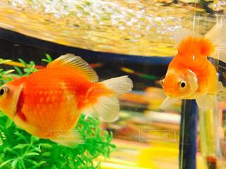 金魚の写真・画像素材[1035695]