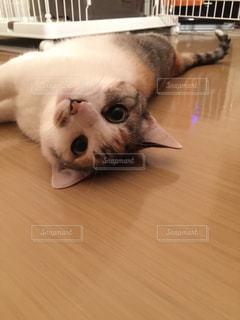 こっちを見つめる猫の写真・画像素材[1036216]