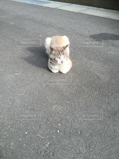 道路上に横たわる猫の写真・画像素材[1037387]
