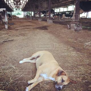 牧場の犬の写真・画像素材[1036659]