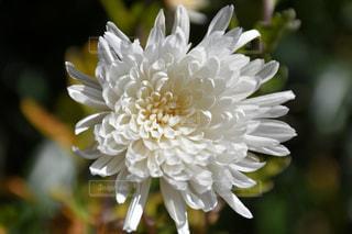 一輪の白い花の写真・画像素材[1036807]