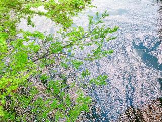 桜と紅葉の写真・画像素材[1122237]