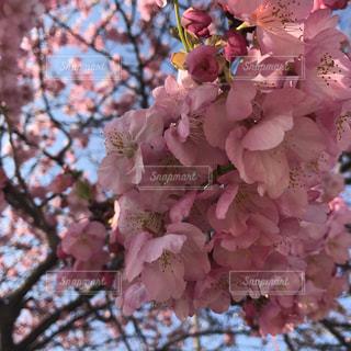 桜の写真・画像素材[1036925]