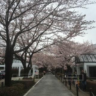 桜の写真・画像素材[12403]