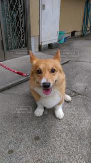 ひもに小さい茶色と白犬の写真・画像素材[1037032]