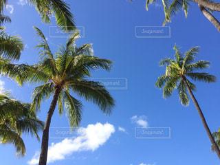 ヤシの木の写真・画像素材[1038401]