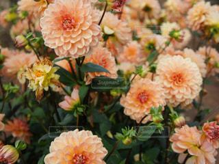 近くの花のアップの写真・画像素材[1038048]