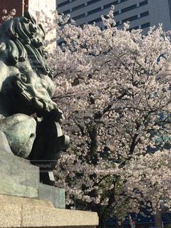 獅子と桜の写真・画像素材[1093896]
