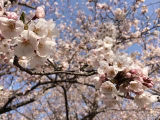 満開の桜の写真・画像素材[1042250]