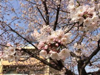 公園の桜の写真・画像素材[1042259]