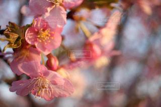 さくらの花 - No.1038348
