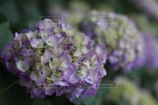 紫陽花の写真・画像素材[1038970]