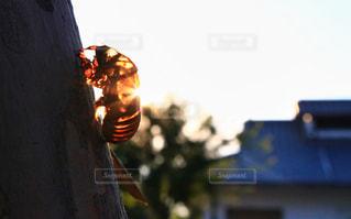 セミの抜け殻の写真・画像素材[1045932]