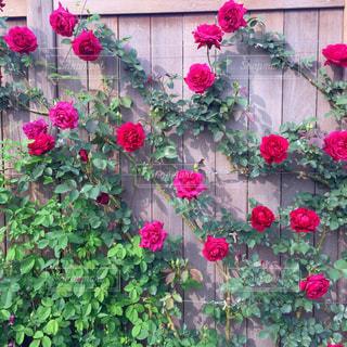 薔薇の写真・画像素材[2148402]