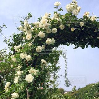 薔薇の写真・画像素材[2148457]