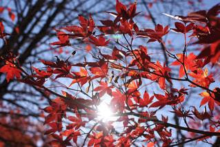 紅葉 - No.1038489