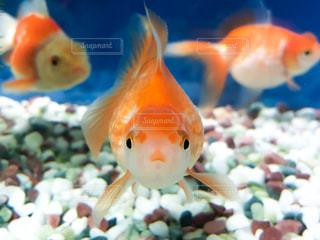 金魚のカメラ目線の写真・画像素材[1042984]