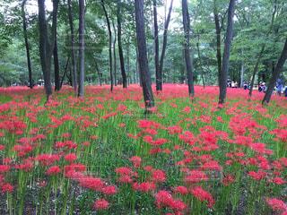 森の中の赤い花の写真・画像素材[1039449]