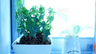 窓際の観葉植物 アイビーの写真・画像素材[1053283]