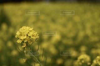 菜の花の写真・画像素材[1064546]