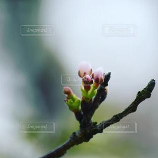 開花間近の写真・画像素材[1101321]