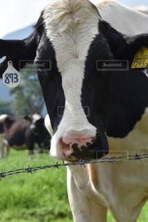 牧場の牛の写真・画像素材[1132020]