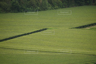茶畑の写真・画像素材[1209582]