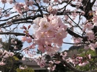 桜が満開の写真・画像素材[1061700]