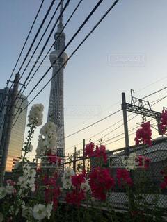 花とスカイツリーの写真・画像素材[1039120]
