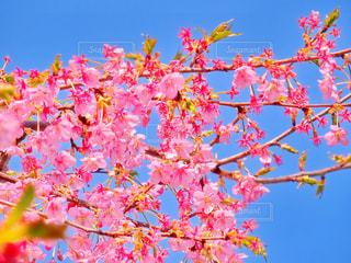 桜の写真・画像素材[1052211]