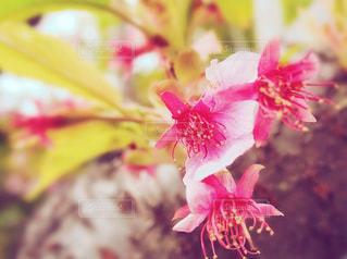 葉桜の写真・画像素材[1064596]