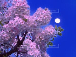 月見桜の写真・画像素材[1090645]