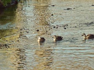 水体でカモメの群れが泳いでいます。の写真・画像素材[1116687]