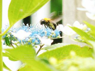 紫陽花と蜂の写真・画像素材[1215400]