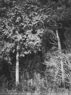 木の黒と白の写真の写真・画像素材[1047141]