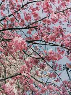 桜の写真・画像素材[1092224]