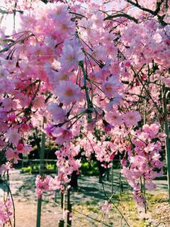 平野神社の枝垂れ桜の写真・画像素材[1093986]
