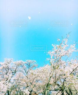 鶴山公園の桜の写真・画像素材[1103747]