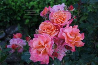 ピンクのバラが花咲く庭園の写真・画像素材[1078318]