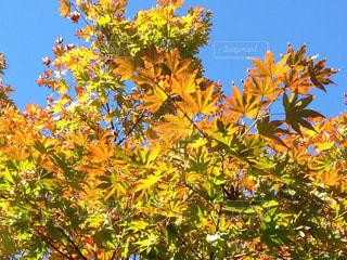 秋空の青赤黄の写真・画像素材[1598864]