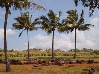 ヤシの木の横に立ってをキリンの群れの写真・画像素材[1040531]