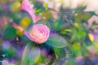 幻想・薔薇の写真・画像素材[1041480]