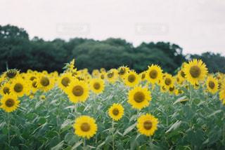 フィールド内の黄色の花の写真・画像素材[1040537]