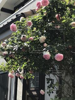 ピンクの薔薇の群の写真・画像素材[2744847]