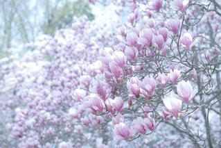 木蓮の花の写真・画像素材[1102417]