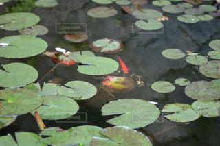 蓮池の写真・画像素材[1044821]