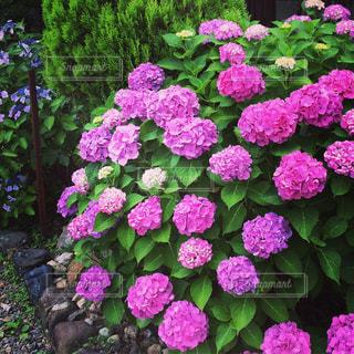 紫陽花の写真・画像素材[1039864]
