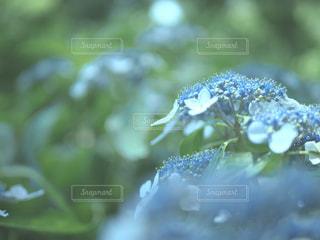 梅雨のあじさいの写真・画像素材[1040376]