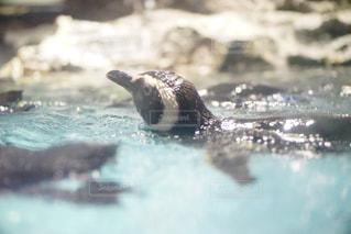 泳ぐペンギン - No.1062905