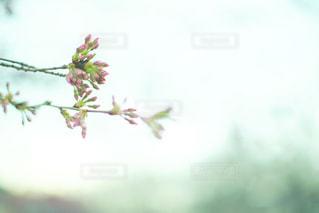 桜のつぼみのアップの写真・画像素材[1075008]